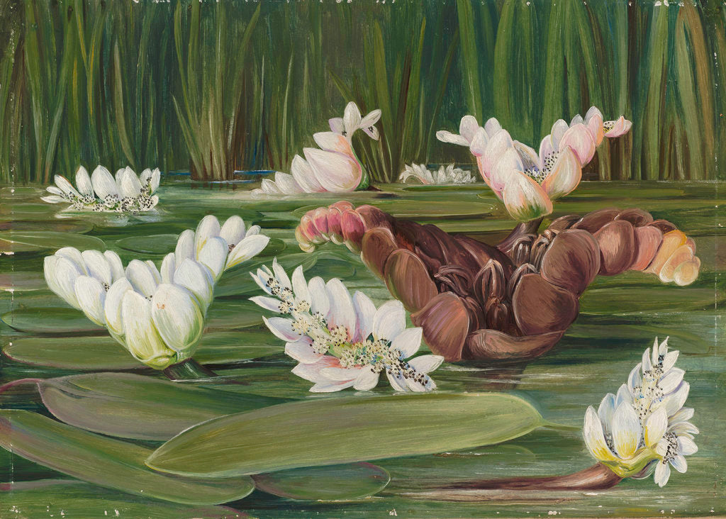 Detail of 420. A South African Water-Plant in Flower and Fruit. by Marianne North