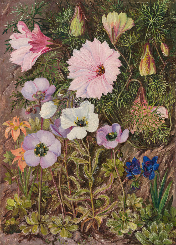 Detail of 422. South African Sundews and other Flowers. by Marianne North