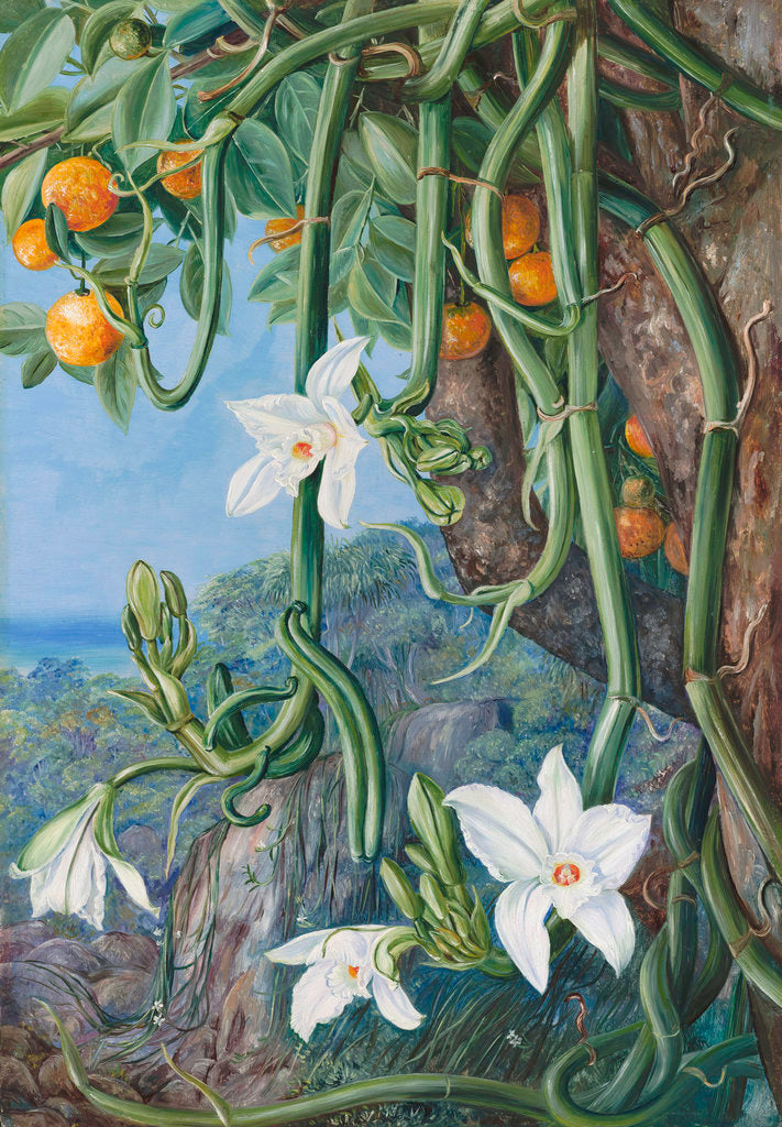 Detail of 497. Native Vanilla hanging from the Wild Orange,. Praslin, Seychelles. by Marianne North