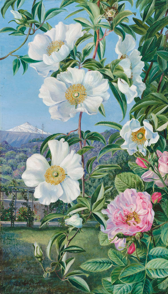 Detail of 527. Cherokee Rose with the Peak of Teneriffe in the distance. by Marianne North
