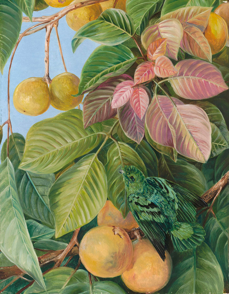 Detail of 537. Fruit of Sandoricum and Green Gaper, Borneo. by Marianne North