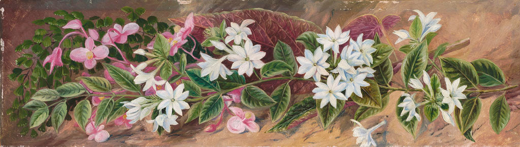 Detail of 559. Flowers of a Jasmine and a Pink Begonia, Borneo. by Marianne North