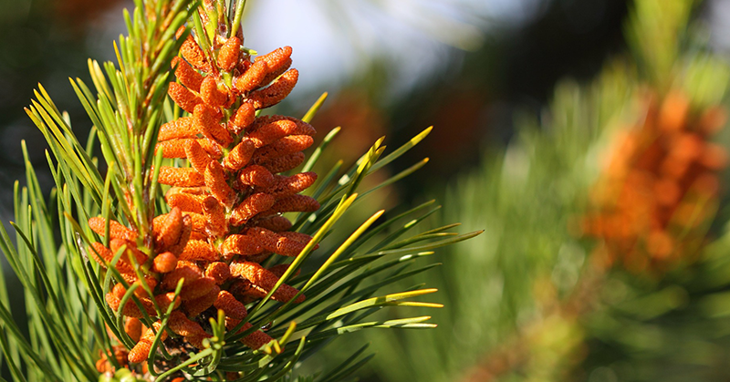 Research Confirms: Pine Pollen Is A Natural Aphrodisiac!