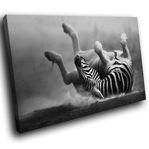 A213 Framed Canvas Print Colourful Modern Animal Wall Art -  Black White Rolling Zebra - WhatsOnYourWall