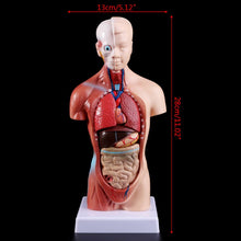 Teaching Anatomy - Human Body Torso Model [FREE SHIPPING]