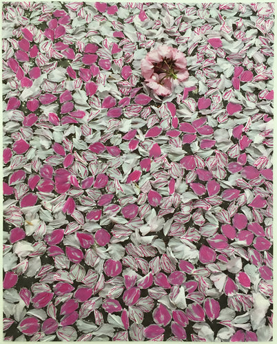 Pink Petals, Blossoms In A Puddle On Roosevelt Island