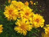 Flower Seeds - Coreopses Sun Ray Elegant Yellow Summer Flower Seeds