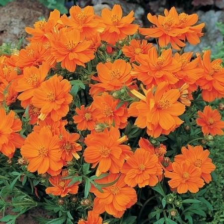 Flower Seeds - Cosmos Sensation Mix Seeds