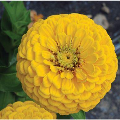Flower Seeds - Zinnia Dahlia Yellow Flower Summer Seeds Pack - Home Seed - Peace Loving Yellow