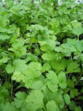 Vegetable Seeds - Dhania Vegetable Seeds