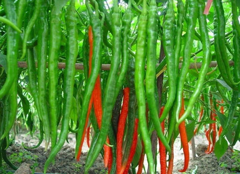 Vegetable Seeds - Imported Long Green Chilli Pepper Ornamental  Seeds Patio