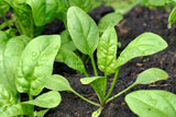 Vegetable Seeds - Spinach  Vegetable Seeds