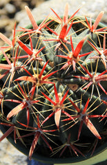 2.5 IN Cactus Ferocactus latispinus- Close Up