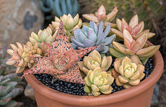 Sedum 'Golden Glow' - 3.5