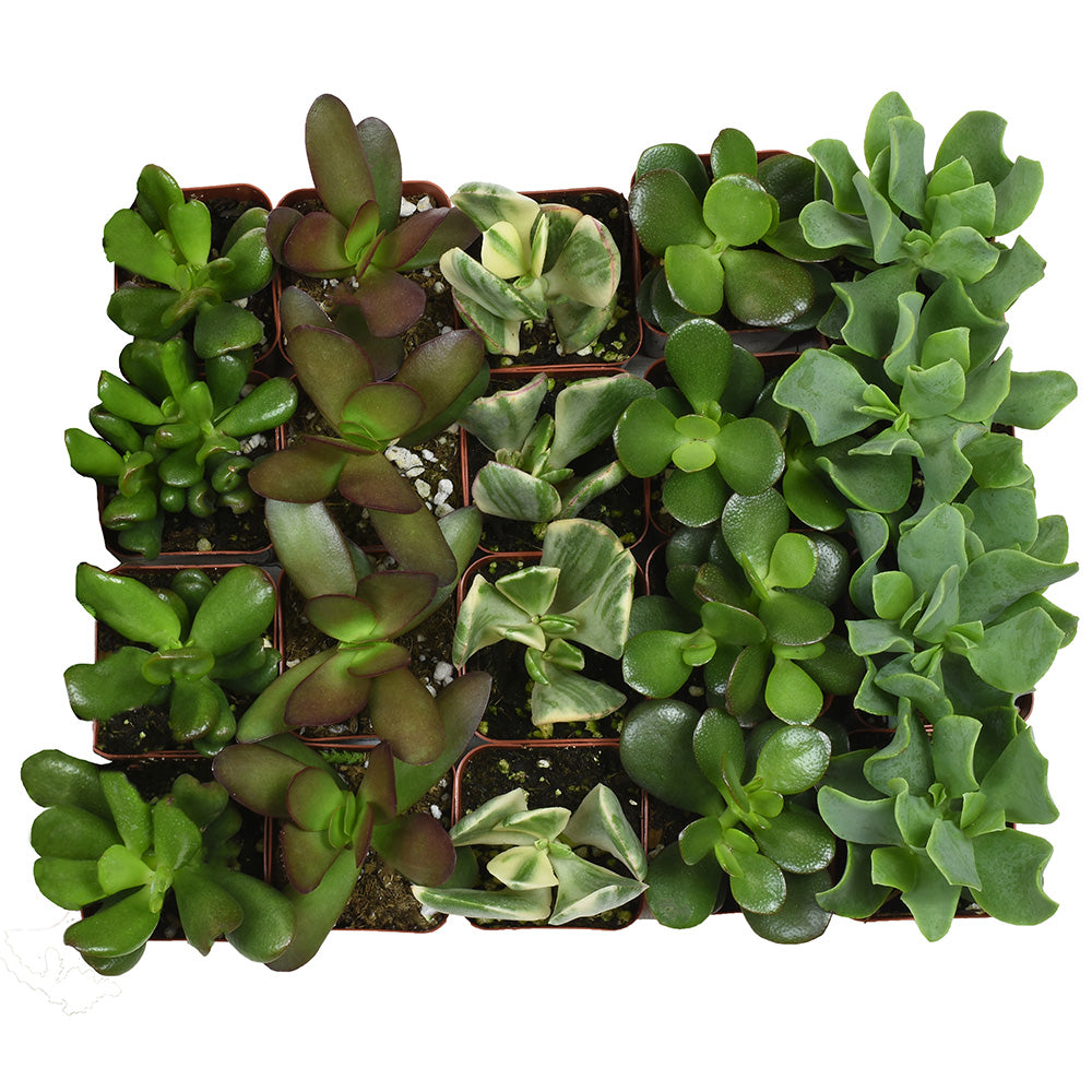 2 Inch Assorted Crassula 20 Pack