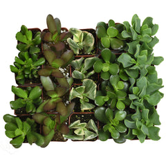 Assorted Crassula 20 Pack - 2 Inch