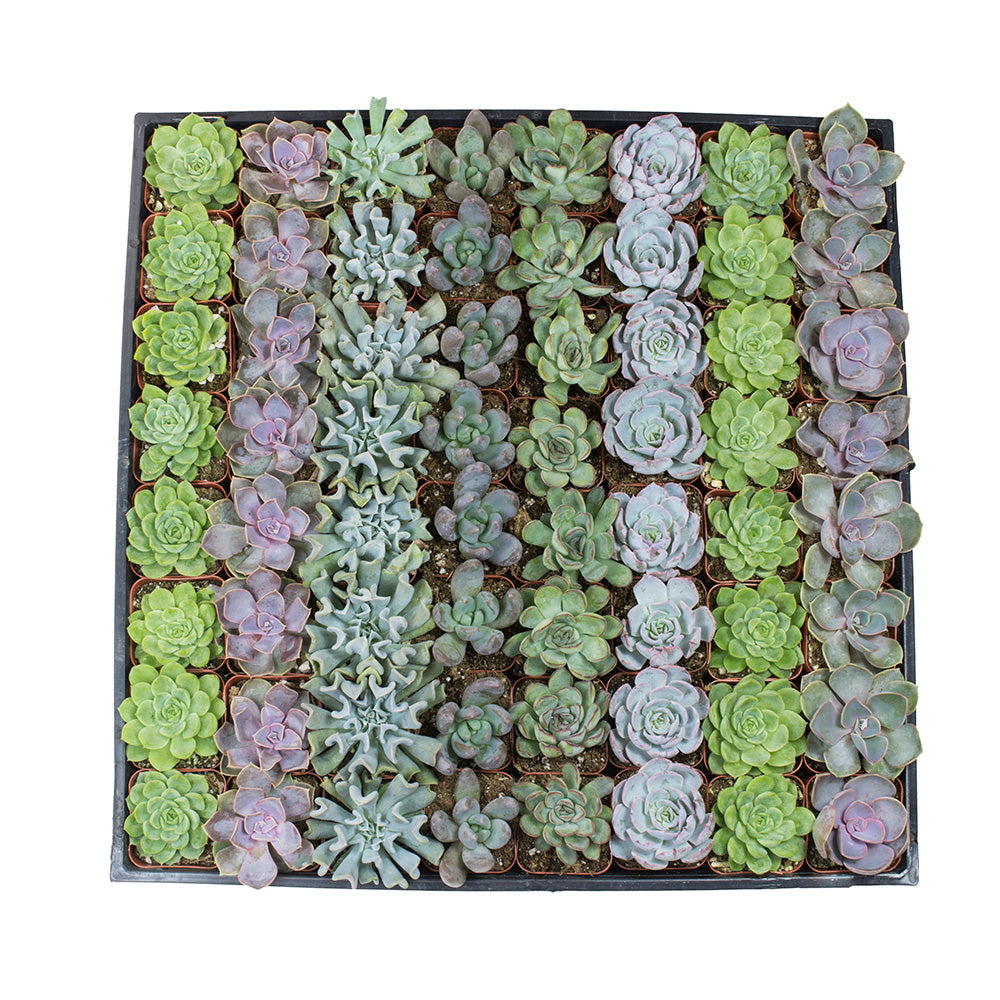 Assorted Rosettes 64 Pack - 2 Inch