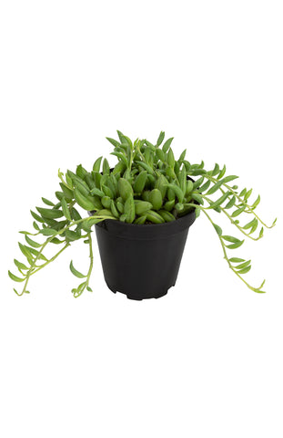 "Senecio radicans ""String of Bananas"" - 3.5"""