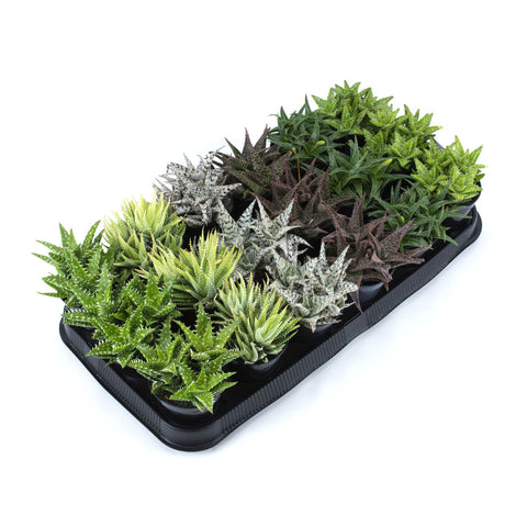 Assorted Aloe - 3.5""