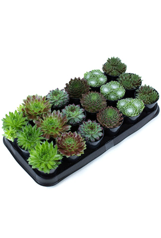 Assorted Sempervivum - 3.5""