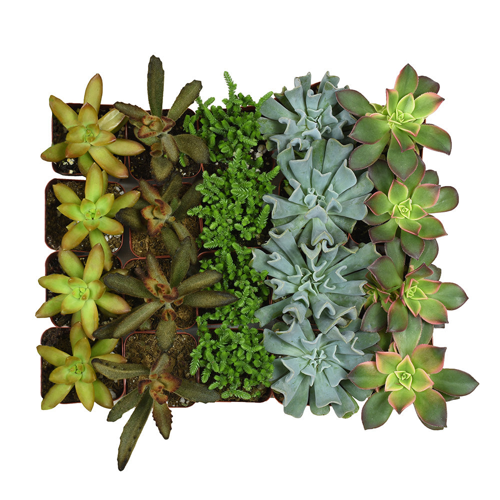 mini 2 inch succulents bulk 20 pack