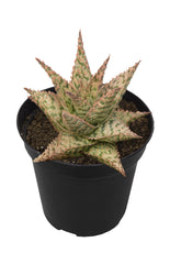 Aloe firecracker angle white background