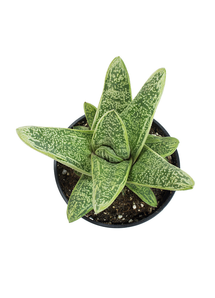 Gasteria 'Little Warty' - 3.5""