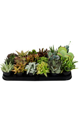 Assorted Succulents - 3.5""