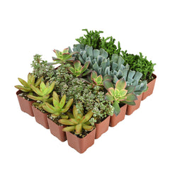 mini 2 inch succulents bulk 20 pack angle