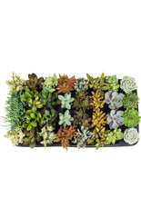 Assorted Succulents - 2.5""