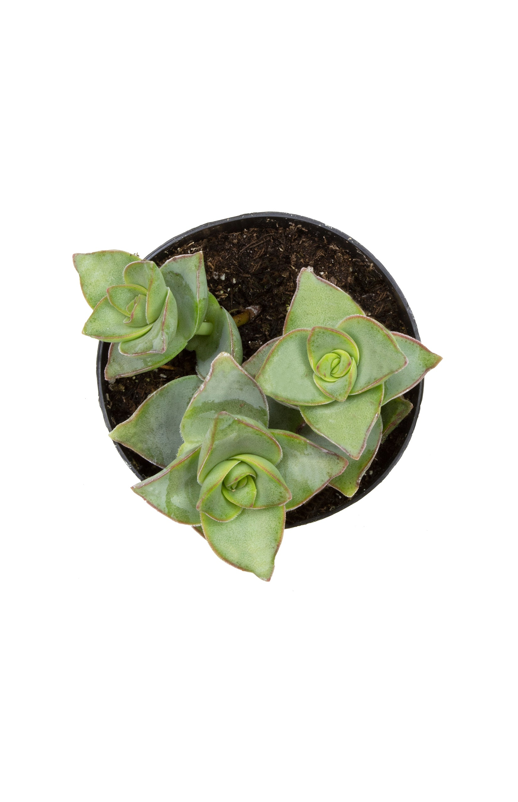 "Crassula perforata ""String of Buttons"" - 3.5"