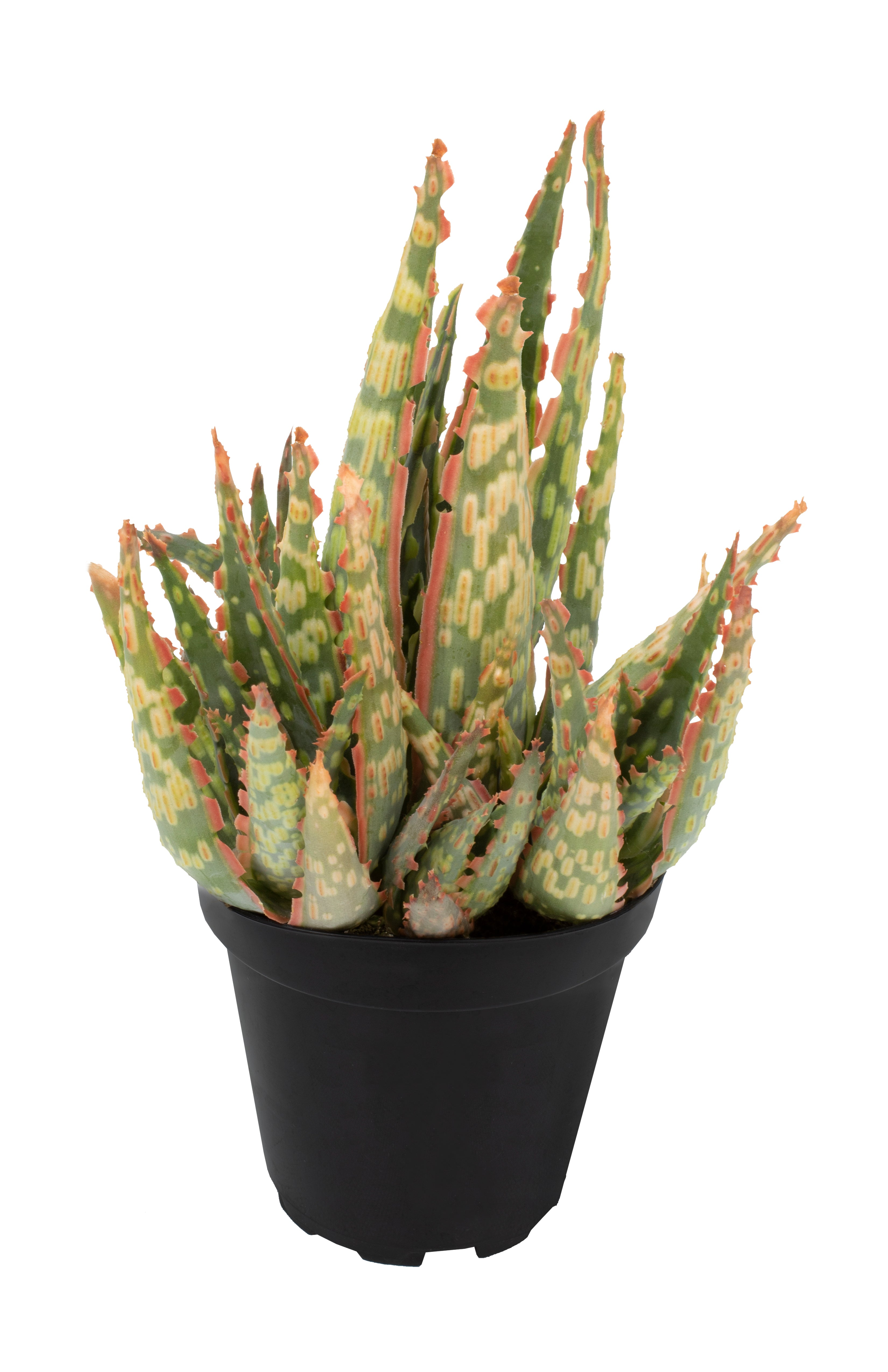 Aloe Krakatoa angle white background