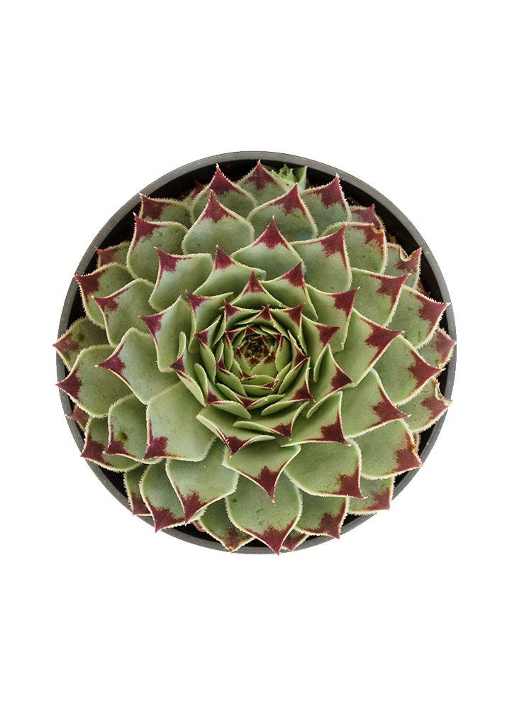 "Sempervivum calcareum ""Hens n' Chicks"" - 3.5"""