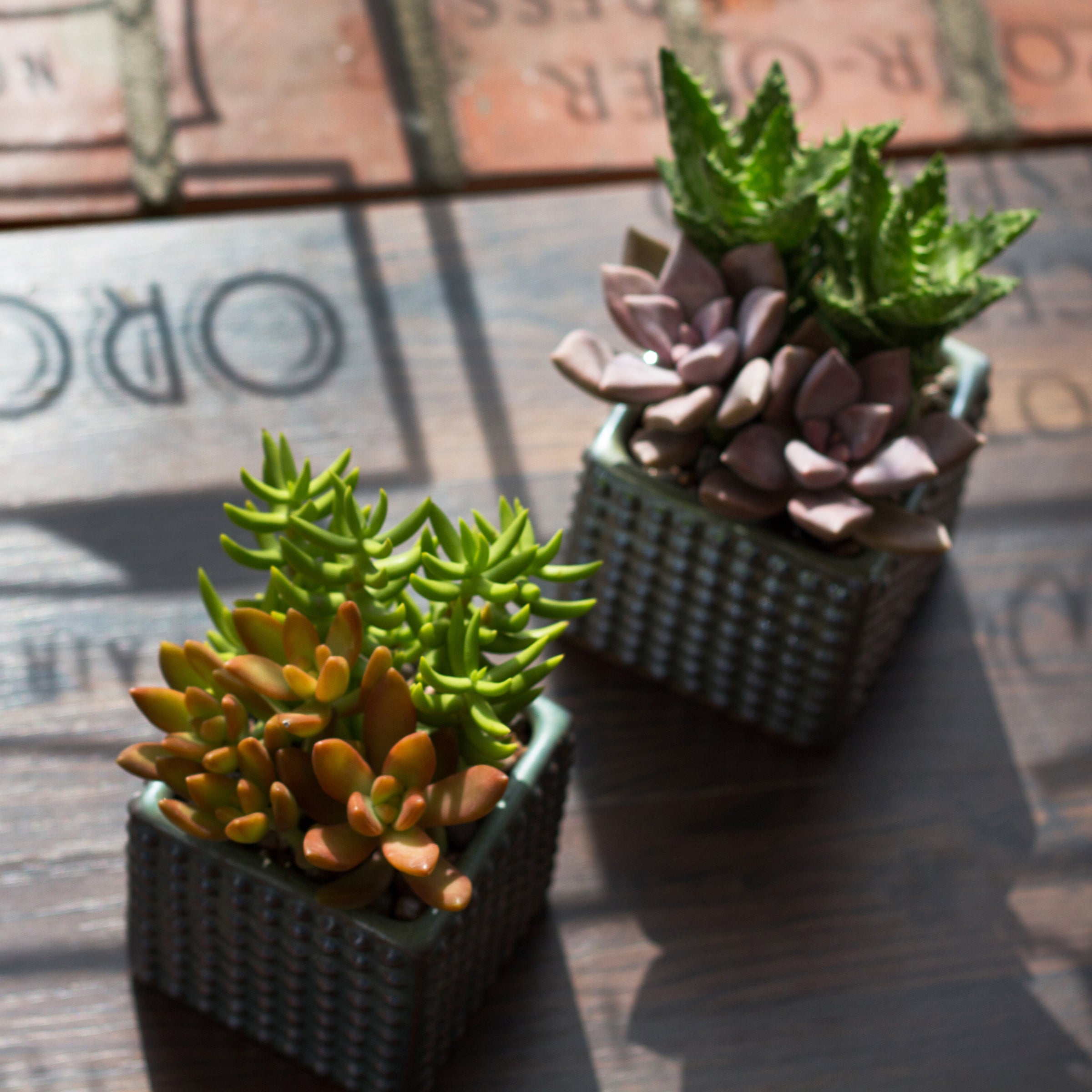 mini succulents in container