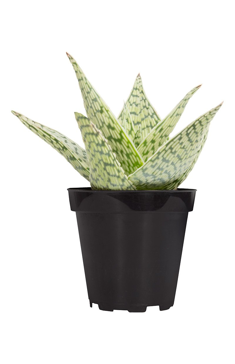 Aloe Delta Lights front