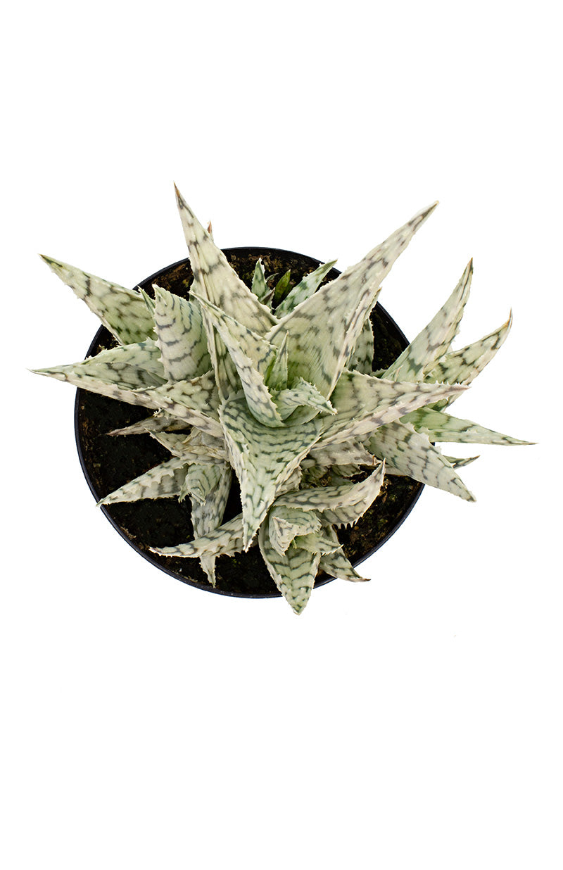 aloe blizzard top white background