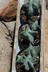 "Stenocereus pruinosus ""Gray Ghost Organ Pipe"" - 3.5"""