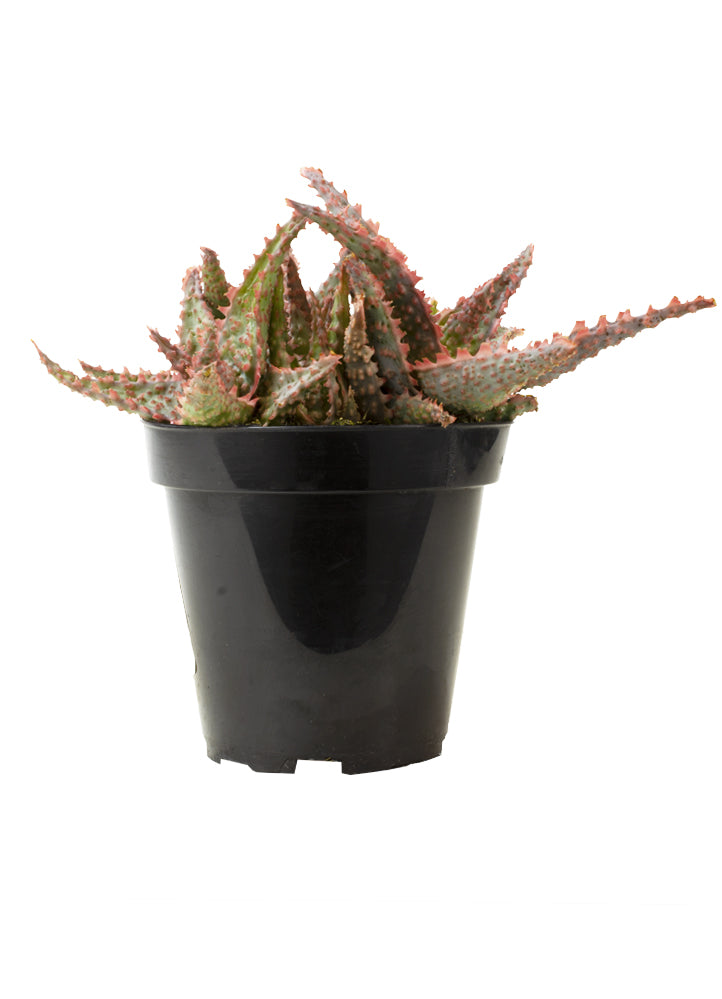 Aloe Oik front white background