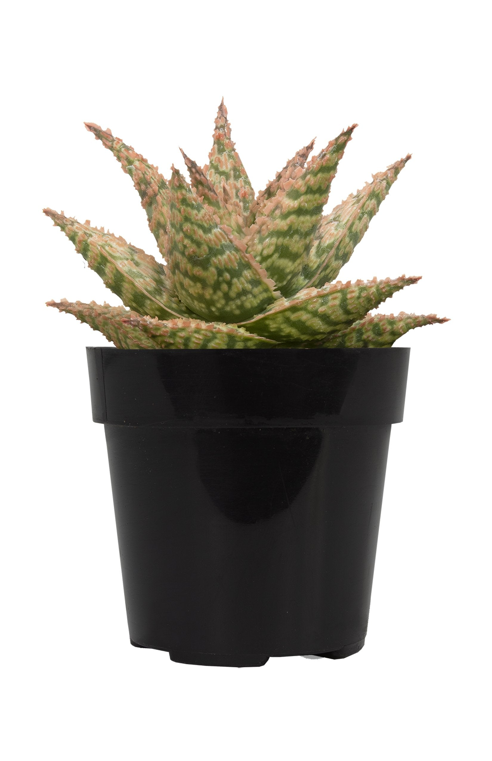 Aloe firecracker front white background
