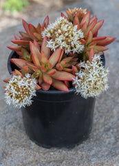 Sedum adolphi Firestorm™ - 1 Gallon