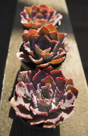 Echeveria 'Neon Breakers' USPP21,406 - 3.5""