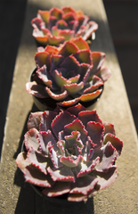 Echeveria 'Neon Breakers' USPP21,406 - 2.5""