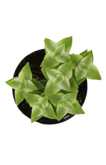 "Crassula perforata variegata ""Variegated String of Buttons"" - 3.5"