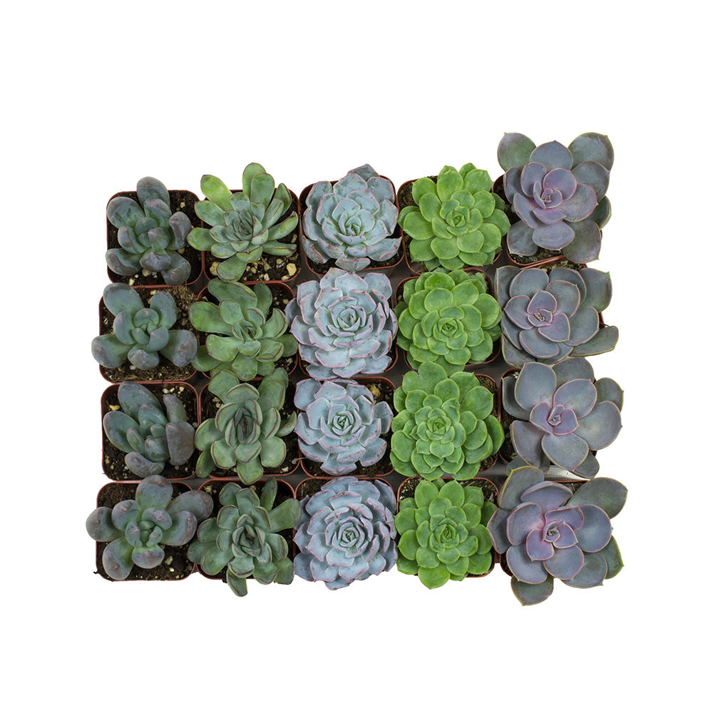 Assorted Rosettes 20 Pack - 2 Inch