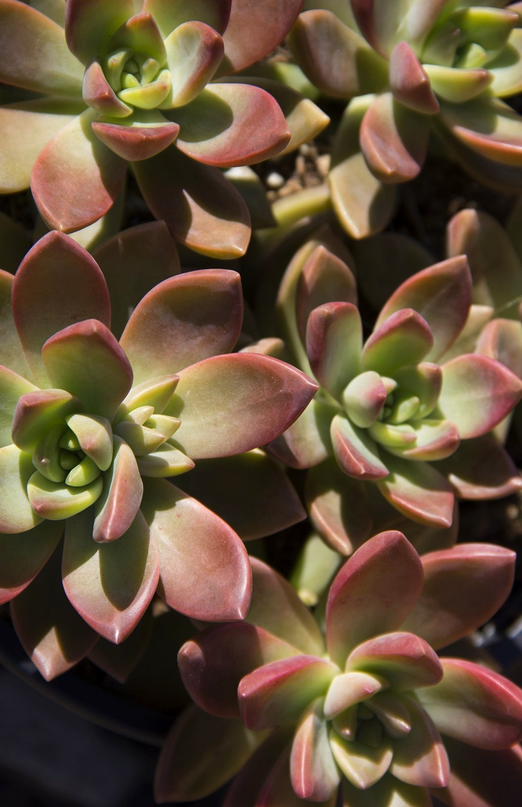 Graptosedum 'California Sunset' - 2.5""