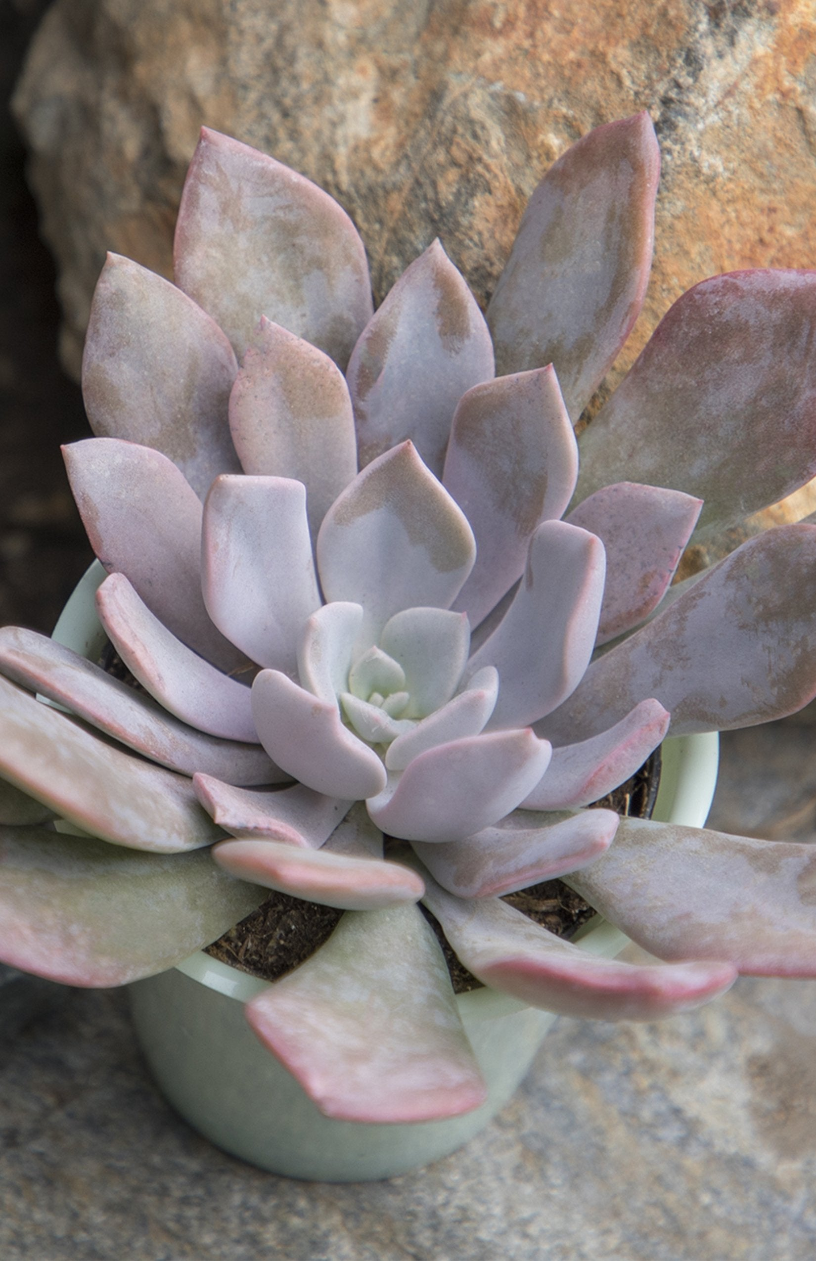 Graptoveria 'Debbie' - lifestyle