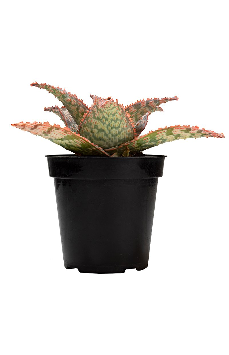 Aloe Mauna Kea front Shot white background