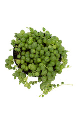 "Senecio rowleyanus ""String of Pearls"" - 2.5"""