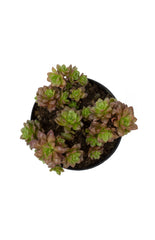 "Cremnosedum 'Little Gem' - 2.5""- Top"