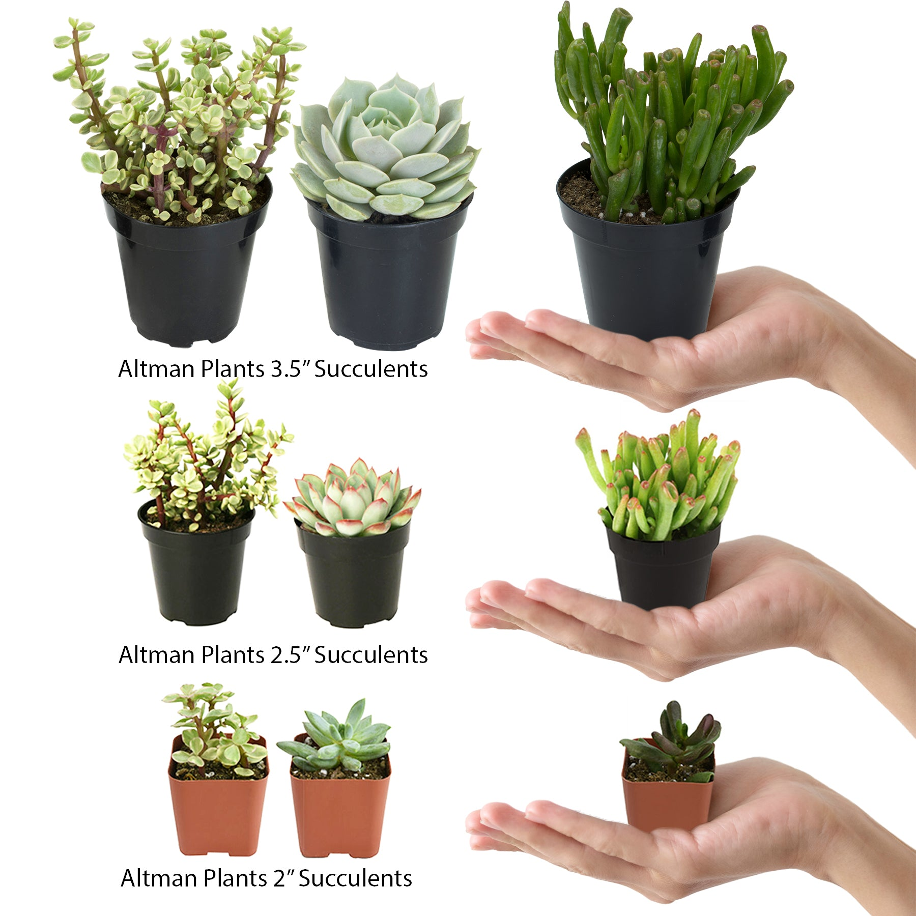 Assorted Succulent 64 Pack - 2 Inch